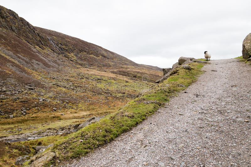 One Sheep in Irish Mountains royalty free stock photography