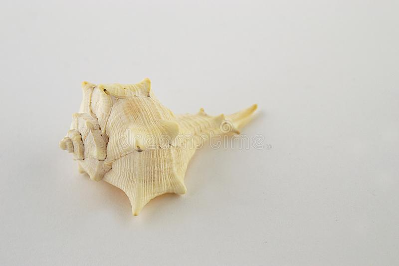 One shell  on a white background stock image