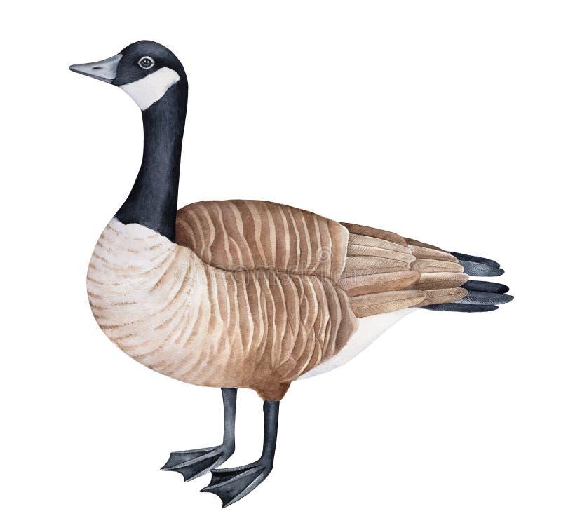 Standing Canada goose Branta canadensis watercolor illustration. royalty free illustration