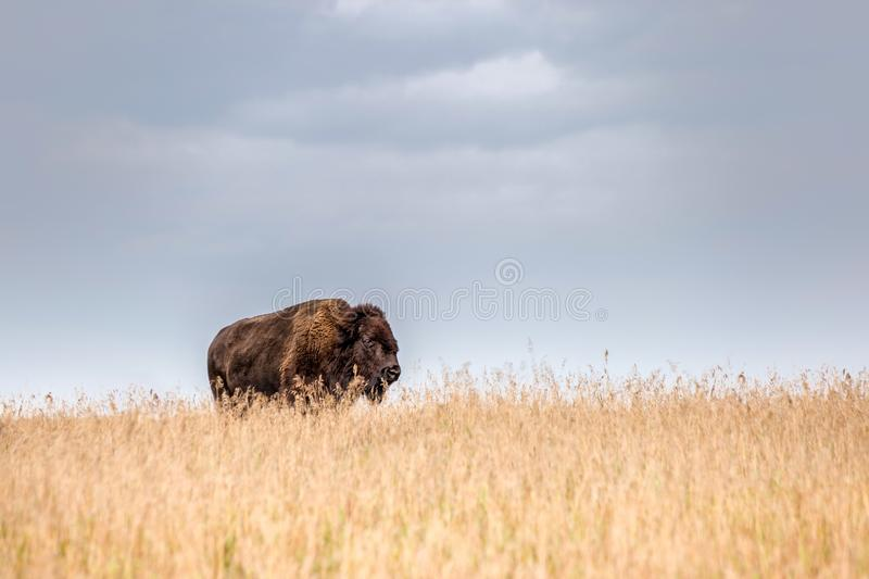 one single majestic buffalo standing in tall golden colored grass stock images