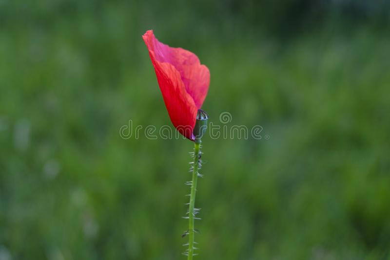 One single Red Poppy in the meadow ,dreamy wild poppy with one red soft petal and pistil stock photo