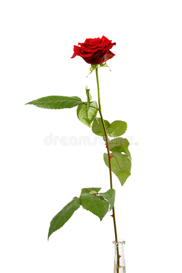 Download One Single Red Rose Royalty Free Stock Photos - Image: 12692388