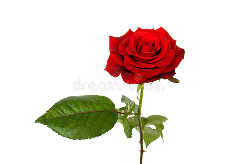 Download One Single Red Rose Royalty Free Stock Photography - Image: 12692427