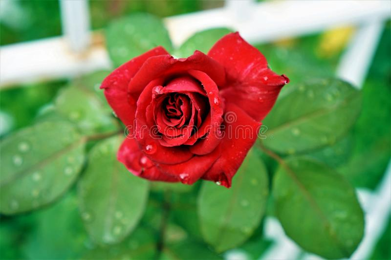 One single red rose with crystal drops of dew on petals and green leaves on the background. royalty free stock images