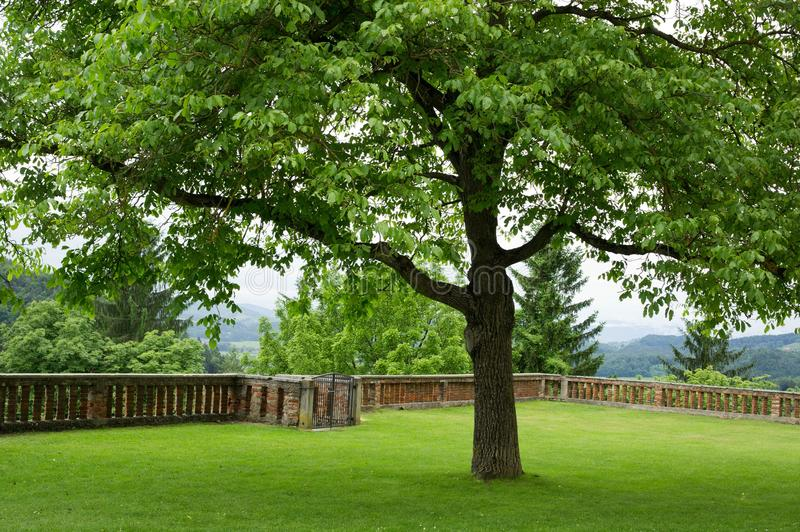 One single tree. With green lawn on the terrace royalty free stock photo