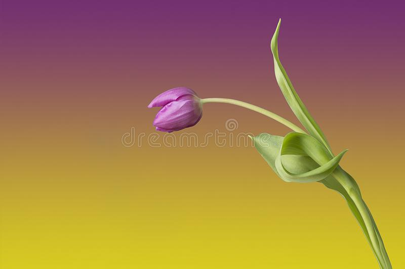 One single tulipa flower against coloured background. Looking like a person greeting someone and making a bow. A human expression of the tulip royalty free stock image