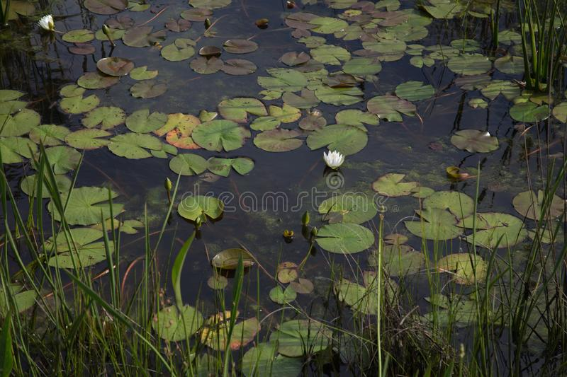 One white waterlily in dark black marsh swamp water with lily pads and reeds in South Louisiana marsh wetlands stock photos