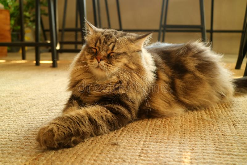One Sleepy Brown Fluffy Hair Persian Cat Relaxing on the Floor. Texture background stock photos