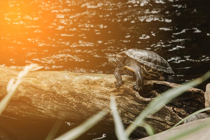 One slider turtle basking on a log under the sun, floating in the water, looking directly at the audience royalty free stock images