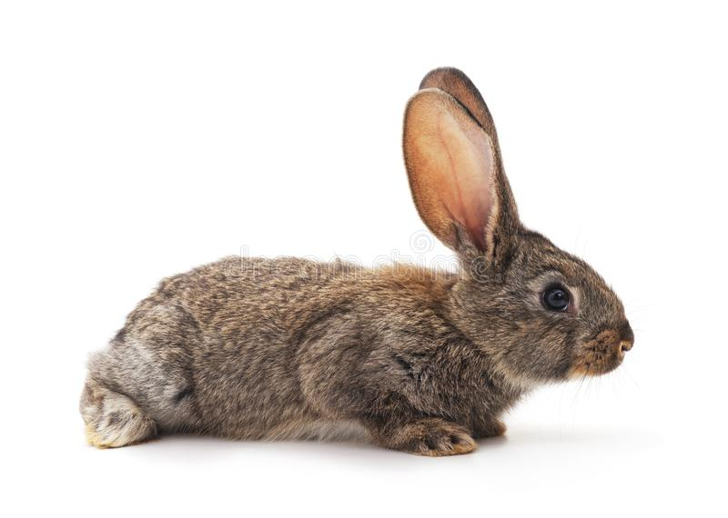 One small brown rabbit. royalty free stock photography
