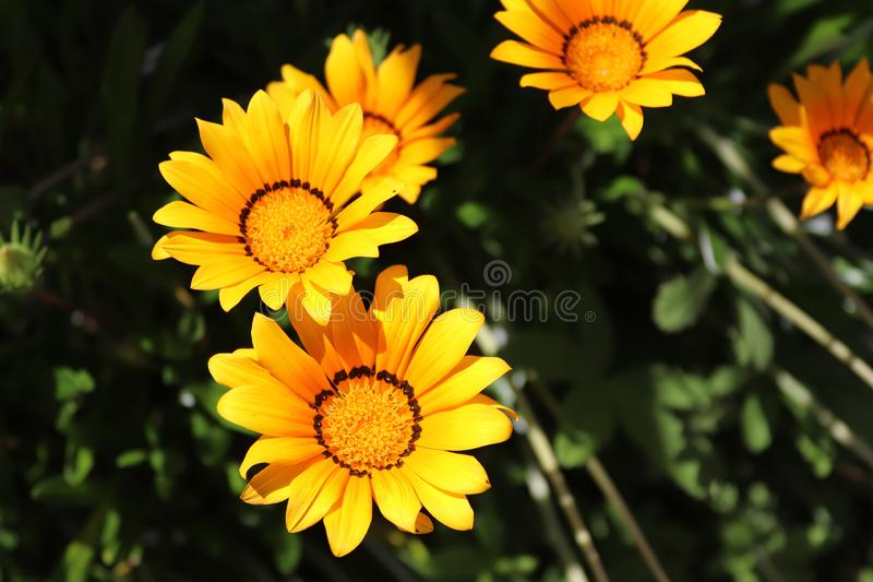 One It is a small grassland plant with yellow disc and white lights. stock photos