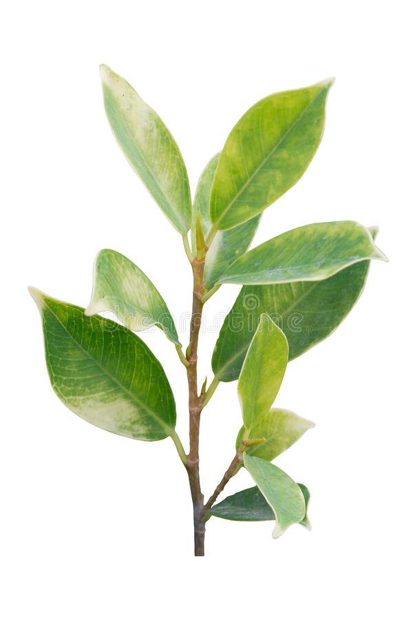 One small green tree isolated on white background. Clipping path stock photos