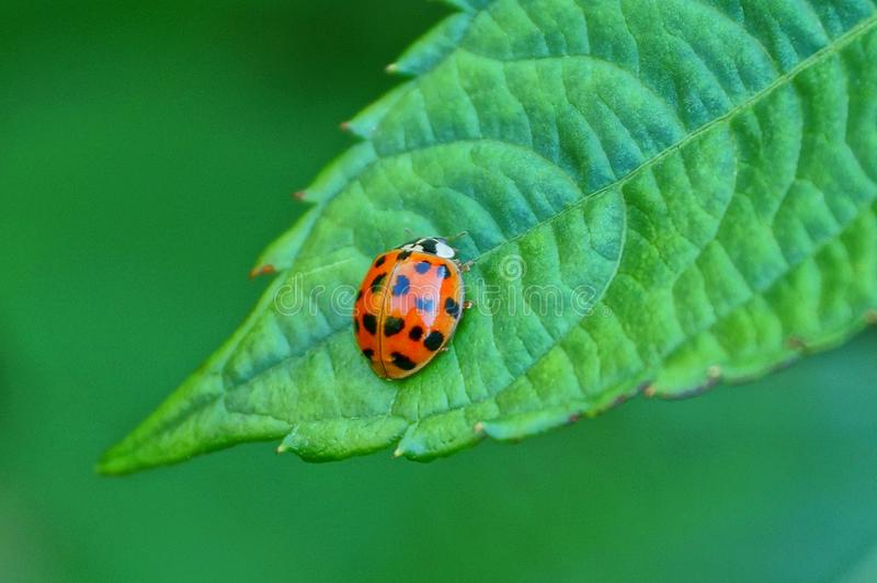 Red ladybug sits on a green leaf of a plant royalty free stock photography