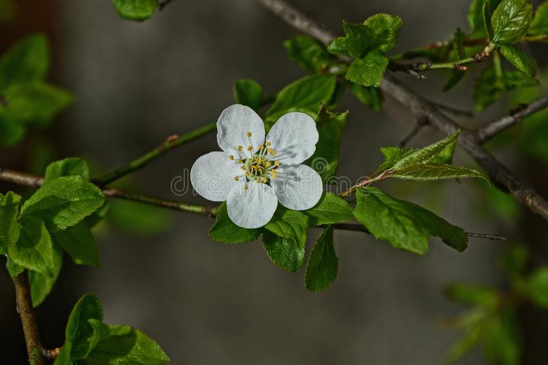Small white cherry blossom on a branch with green leaves royalty free stock photo