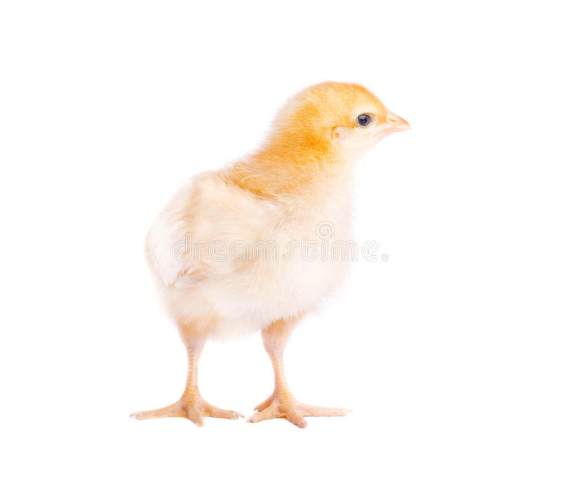 One small yellow chicken isolated stock images