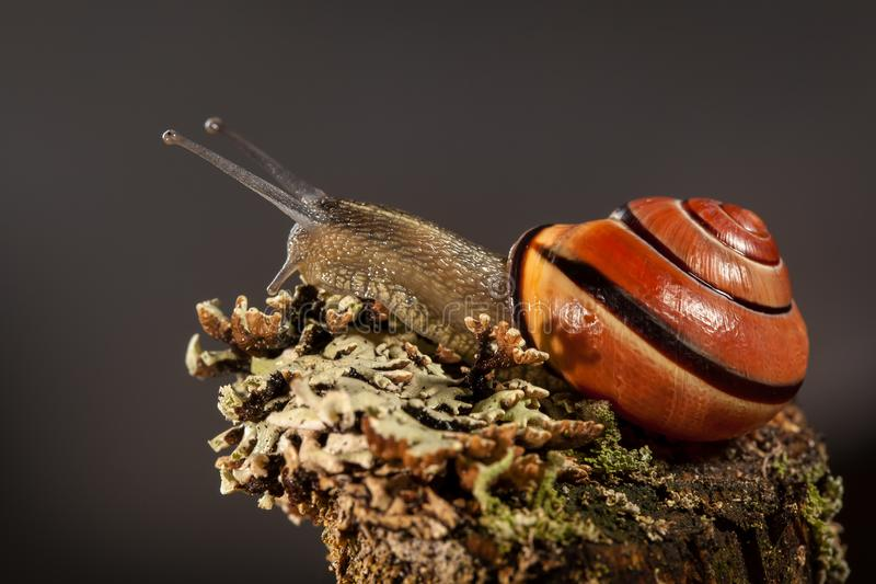 One snail on a piece of bark with nice lichens, in a dark gray background. One wet snail with big antennas on a piece of bark with nice lichens, in the dark gray stock image