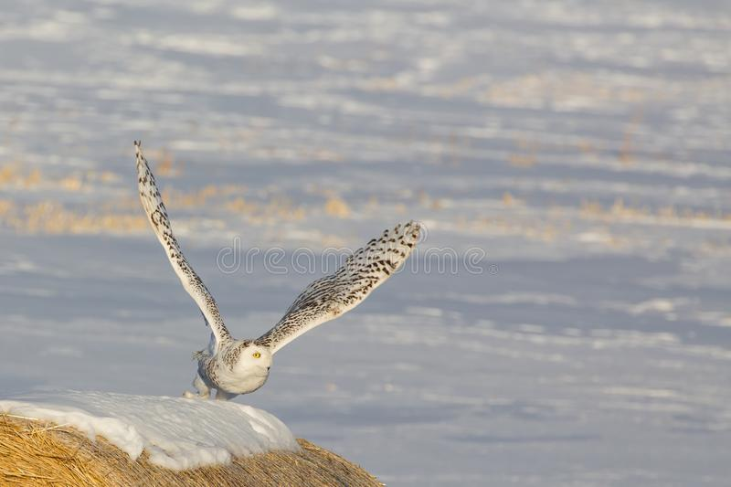 Snowey Owl Launch royalty free stock images