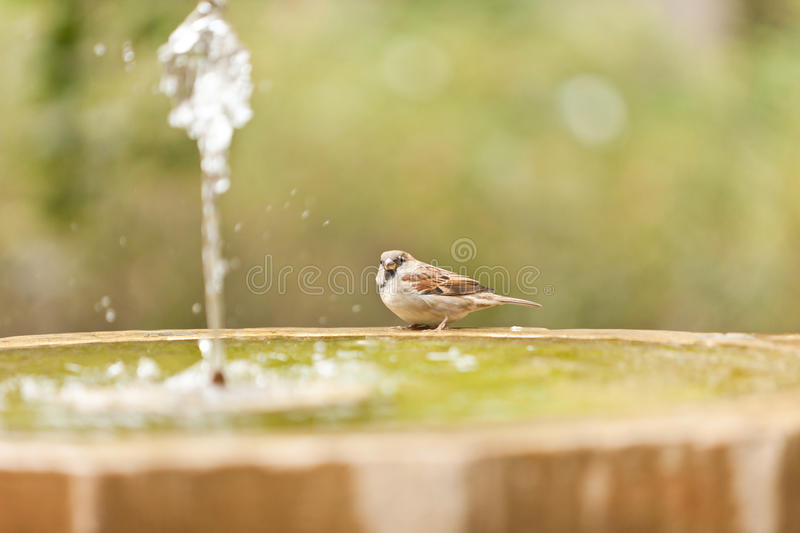 One sparrow in fontain royalty free stock image