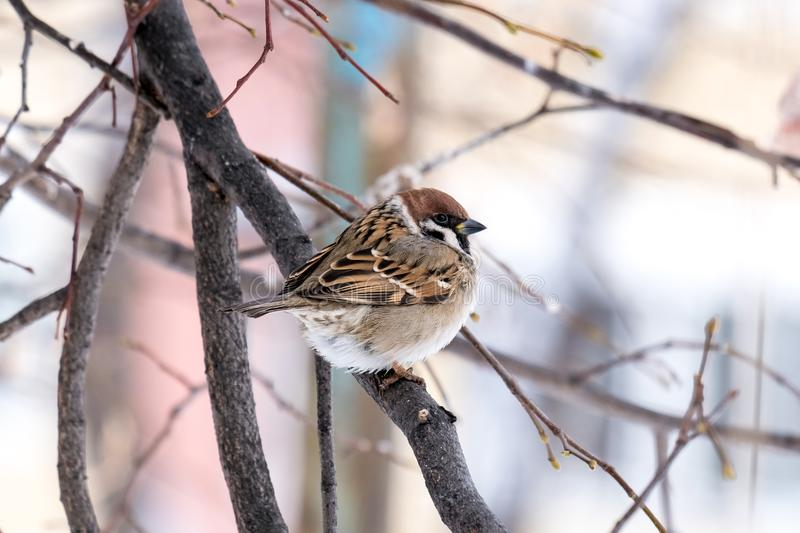 One Sparrow on a motley background of bare trees in winter, a tree branch royalty free stock image