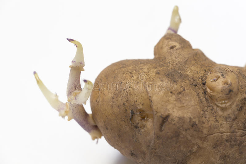 One sprouted potato stock image