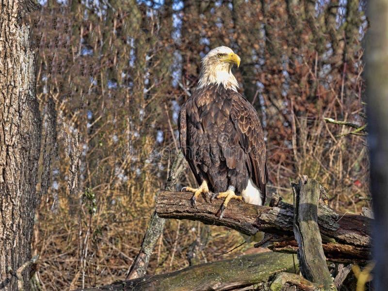Steller`s Sea Eagle, Haliaeetus pelagicus, belongs among the great eagles royalty free stock photography