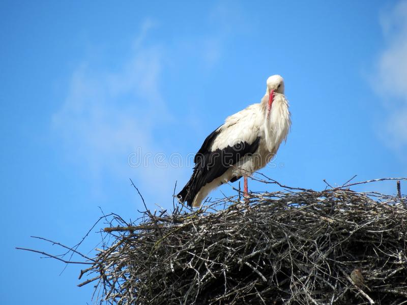 One stork bird in nest, Lithuania. Beautiful stork bird rest in in summer stock photos
