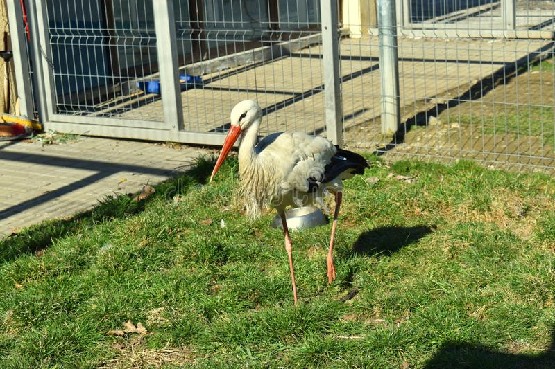 One stork in the cage at ZOO. Wild bird in captivity. Nature, wildlife, animal, feather, green, park, fauna, beak, water, plumage, white, beautiful, neck stock photography