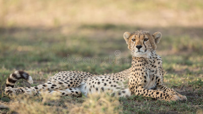 One sub adult Cheetah lying down alert, Ndutu, Serengeti, Tanzania. One sub adult Cheetah lying down alert in the Ndutu area of the southern Serengeti, Tanzania stock photos