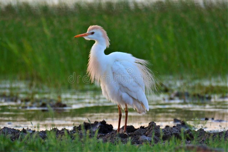 CATTLE EGRET in Mateing Plumage. One sunny morning, in a cow pasture, I came across my first Cattle Egret in full mateing plumage. It posed very nicely for a royalty free stock images