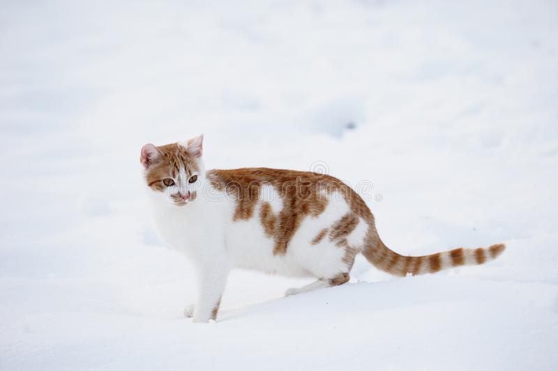 Tabby cat in the snow stock photos