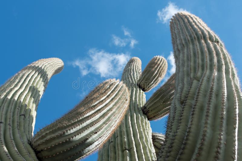 Tall Saguaro Cactus. One tall Saguaro cactus reaching for the sky. View from bottom to top. Sky is summer blue stock photo