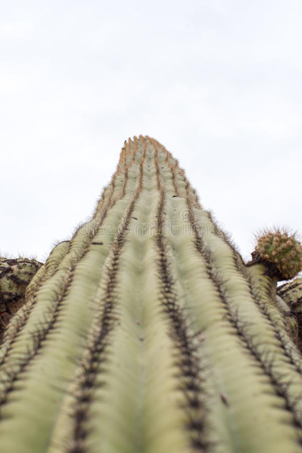 Tall Saguaro Cactus. One tall Saguaro cactus reaching for the sky. View from bottom to top royalty free stock images