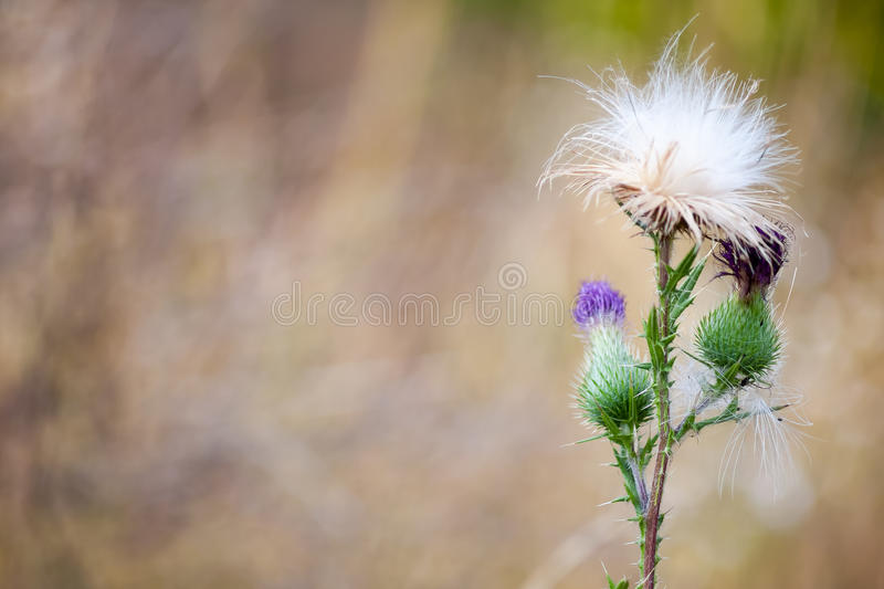 One Thistle flower. Pink Thistle flower on a blurred background royalty free stock photography