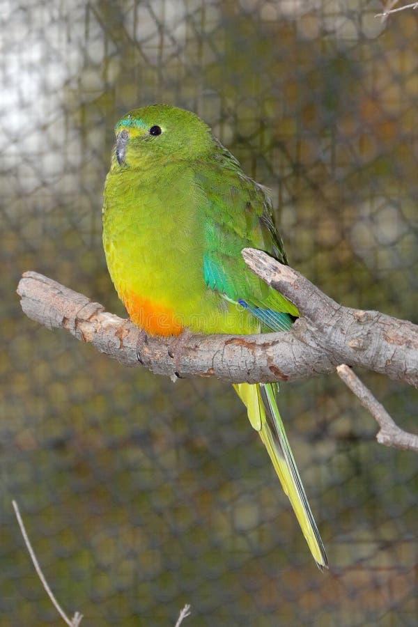 Orange-Bellied Parrot Neophema Chrysogaster stock photography