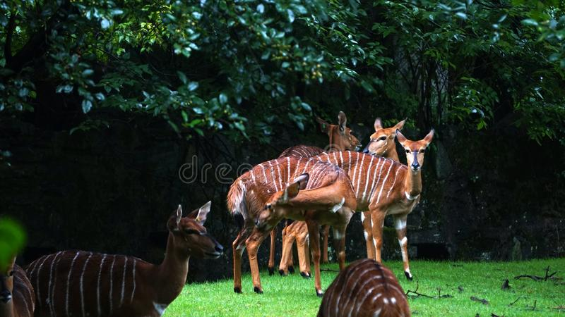 A group of striped antelopes called bongo. One of the top ten zoos in the world, the American bronx zoo, the striped antelope, called the snare drum stock photo