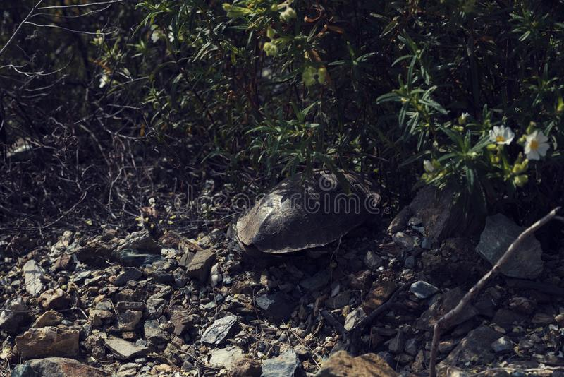 One tortoise under a bush in Greece. Selective focus stock images