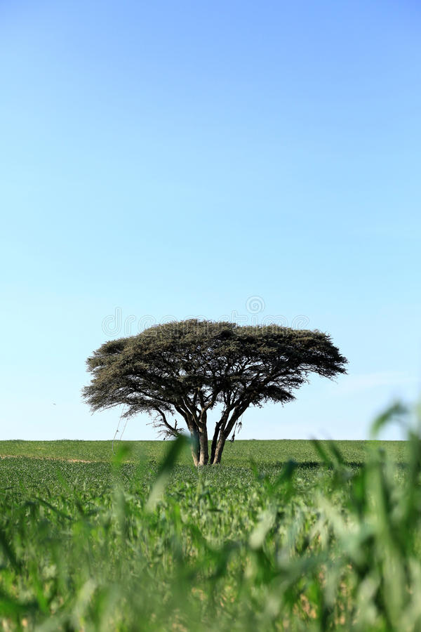 Download One tree in a field stock image. Image of farm, leaf - 26542659