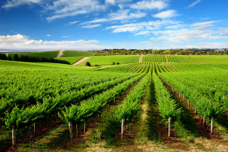 One Tree Hill Vineyard. Vineyard in One Tree Hill, South Australia royalty free stock photo