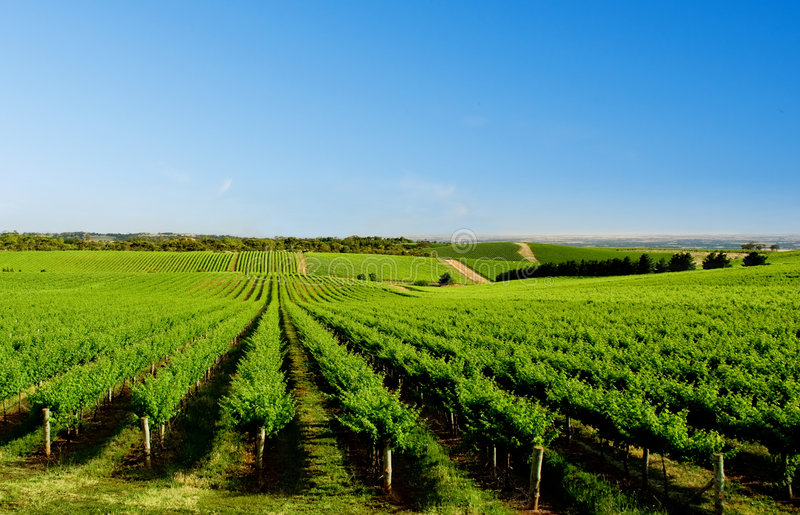 Download One Tree Hill Vineyard stock photo. Image of nature, scenic - 5406798