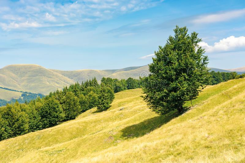 One tree on the meadow in high mountain landscape stock image