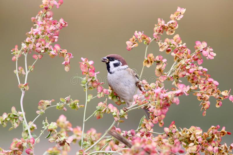 One tree sparrow on the flowers. On nice blurred background royalty free stock images