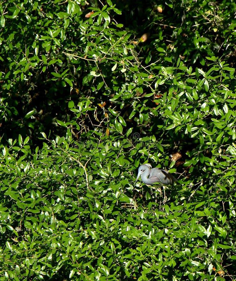 One Tricolored Heron standing in a green bush. In coastal Georgia, USA stock photos