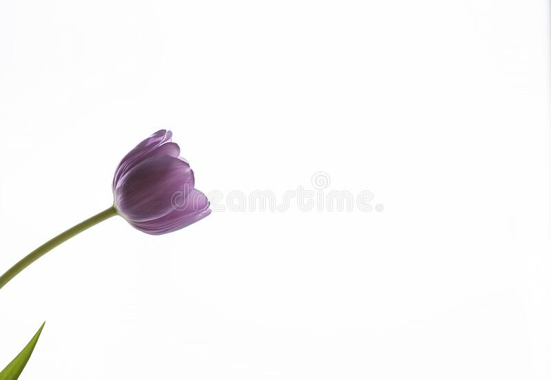 One tulip with a lilac bud on a white background on the left side of the frame. One tulip with a lilac bud on a white background. The tulip stem is located on stock photography