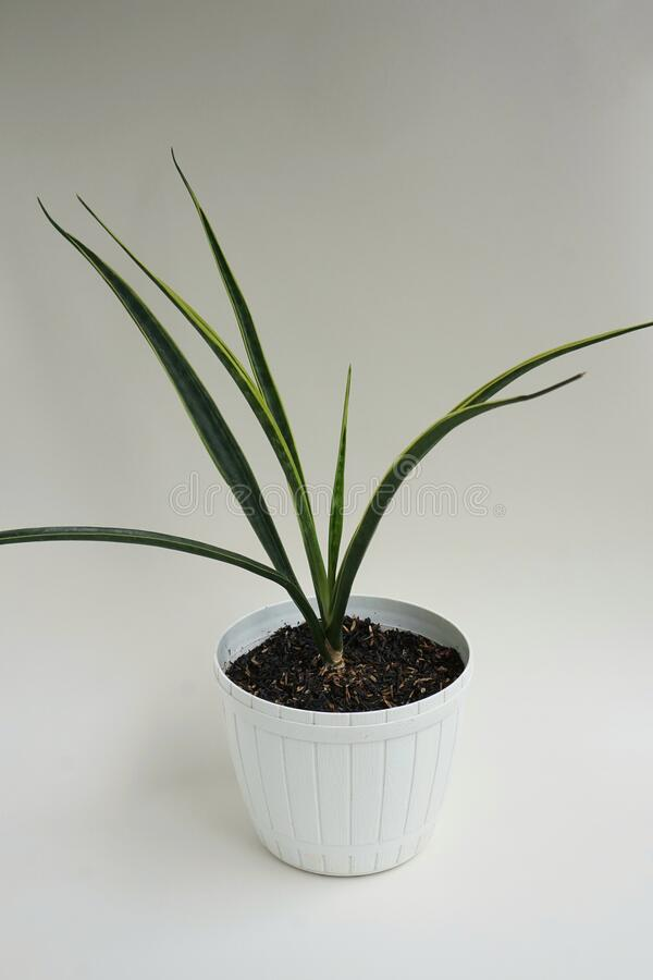 One type of snake plant or Sansevieria. One type of snake plant called Sansevieria stuckyi royalty free stock photos