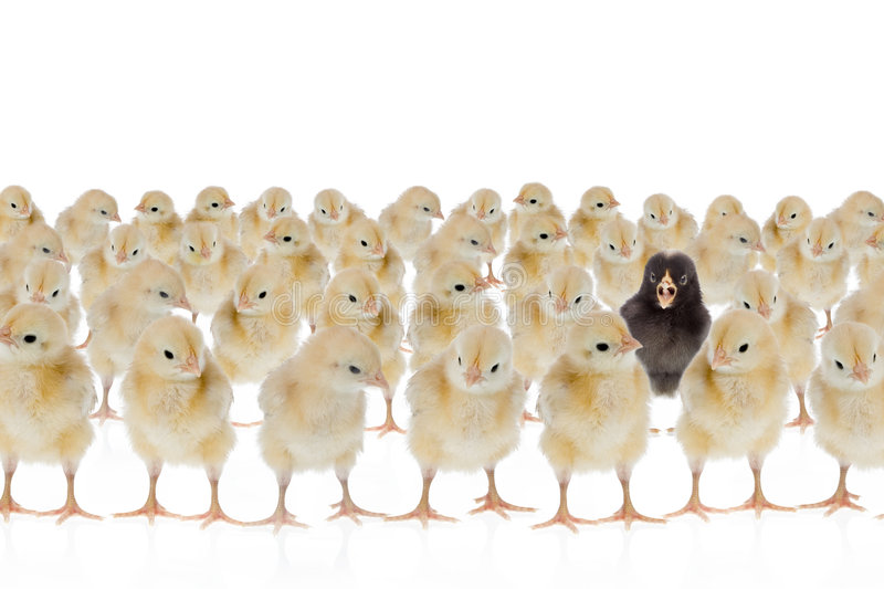 One unique chicken. Dare to be different, easter scene : black chicken amongst many yellow ones. Isolated on a white background