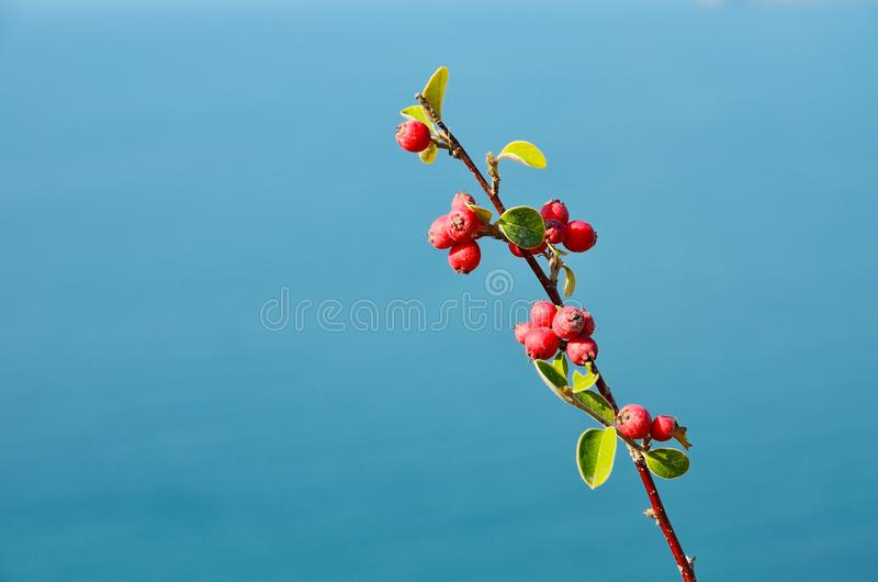 Branch with red berries at blue background outdoor. One branch of rowan with bright red berries and green yellowish leaves on a blurred blue background of the royalty free stock photography