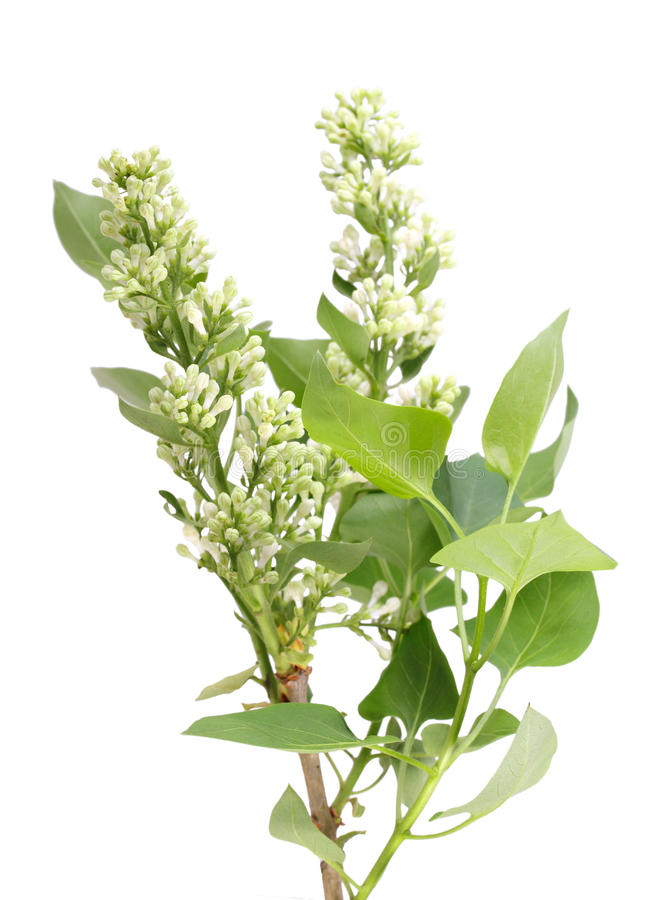 Download One Vertical Branch Of White Lilac Stock Image - Image: 24767455