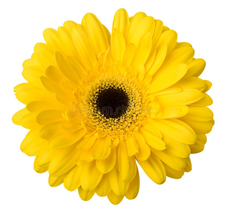 One Vibrant bright yellow gerbera daisy flower blooming isolate on white background stock images