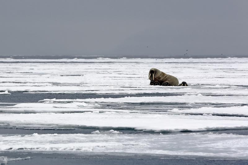Walrus on Ice. One Walrus on the Ice and one Looking up from a Hole in the Ice, outside Spitsbergen. Svalbard, Norway royalty free stock photography