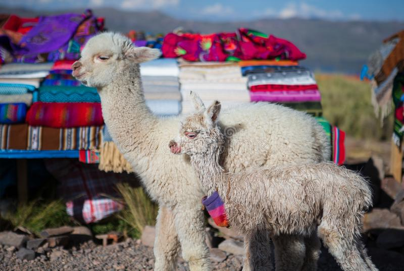 One week old and 2 months old alpacas standing in front of Peruvian fabric stand stock image